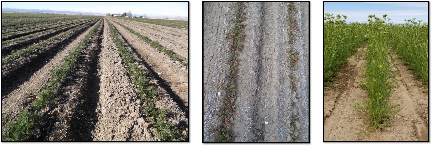 Illustration of observed carrot plant growth at select sampling dates. Left photo: October 20, 2017. Middle photo: March 12, 2018. Right photo: June 26, 2018. Photo credits to Amber Moore and Ekaterina Jeliazkova, OSU.