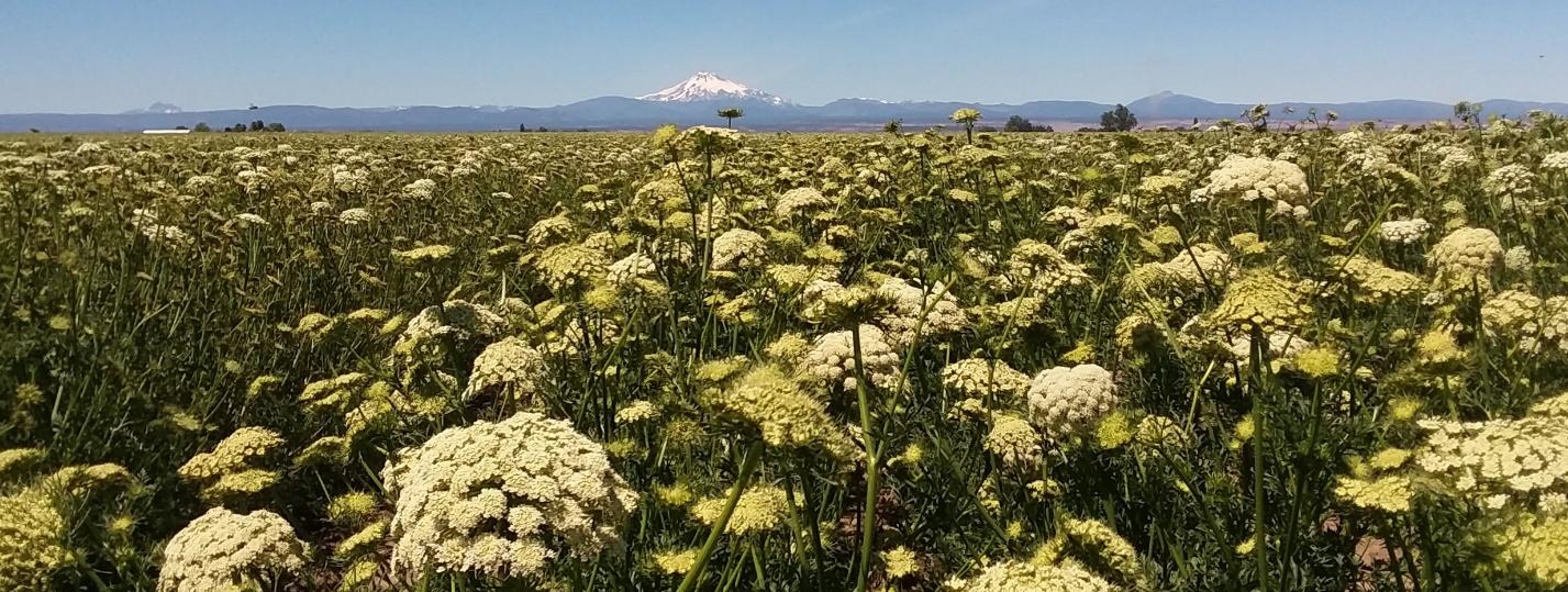 Carrot field in bloom, July 2018
