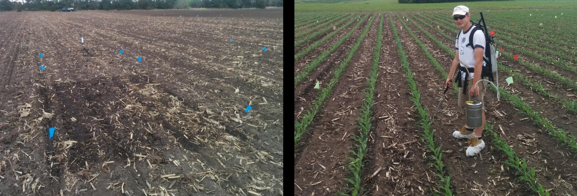 Left: The microplot immediately after receiving 15N enriched urea fertilizer